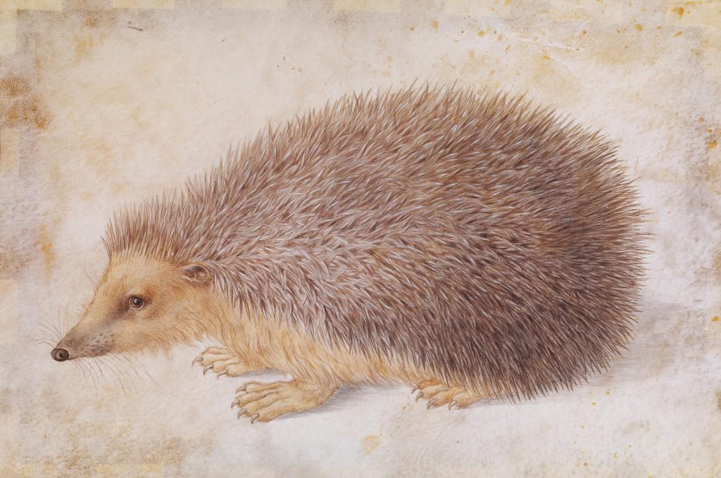Image: 'A Hedgehog (Erinaceus roumanicus),' by Hans Hoffmann
