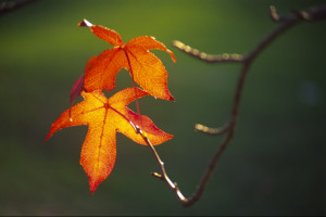 2 Autumn Leaves, by Kristie Shureen Photography