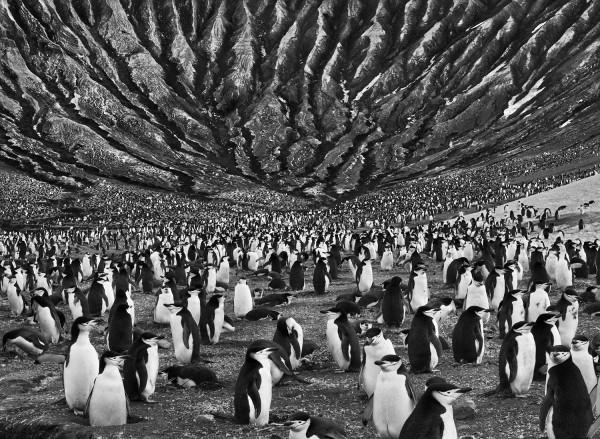 Chinstrap penguin colony, Mt. Michael, by Sebastiao Salgado