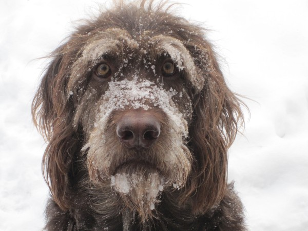 'Snow Face, Straight On' (2011): Gus, the Labradoodle, in a winter photo by Janet Nezon